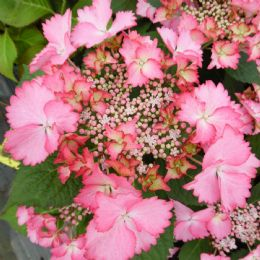 Hydrangea macrophylla French Cancan (Teller Series) (L)